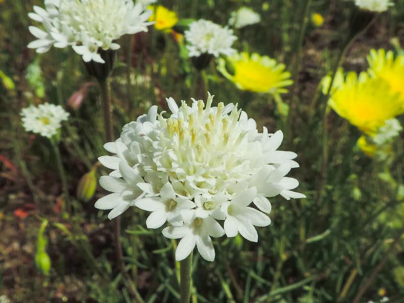Desert Pincushion  (Chaenactis stevioides) ASTERACEAE