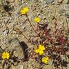 Pale Suncup  (Camissoniopsis pallida) ONAGRACEAE