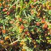 Cheesebush  (Ambrosia salsola) ASTERACEAE