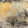 Wand Sage  (Salvia vaseyi) LAMIACEAE