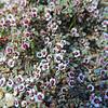 Red-gland Spurge (Euphorbia melanadenia) EUPHORBIACEAE