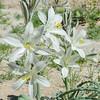Desert Lily (Hesperocallis undulata) AGAVACEAE