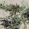 Purplestem Phacelia (Phacelia crenulata var. ambigua) BORAGINACEAE