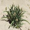 Woolly Plantain (Plantago patagonica) PLANTAGINACEAE