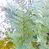 Cleveland's Lipfern  (Cheilanthes clevelandii) PTERIDACEAE
