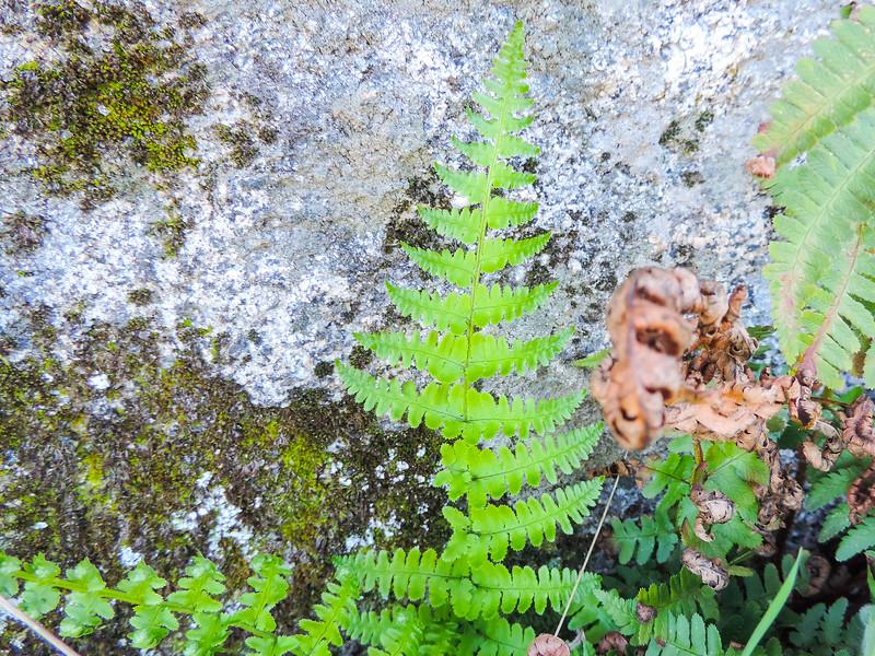 Goldenback Fern (Pentagramma triangularis ssp. maxonii) PTERIDACEAE
