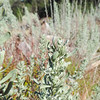 Big Sagebrush  (Artemisia tridentata) ASTERACEAE