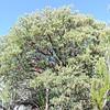 Big-berried Manzanita  (Arctostaphylos glauca) ERICACEAE