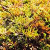 Bigelow's Spike Moss  (Selaginella bigelovii) SELAGINELLACEAE