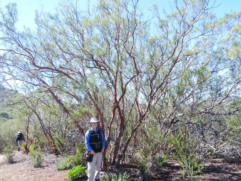 Ribbon Wood  (Adenostoma sparsifolium) ROSACEAE