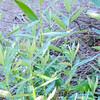 California Mugwort (Artemisia douglasiana) ASTERACEAE