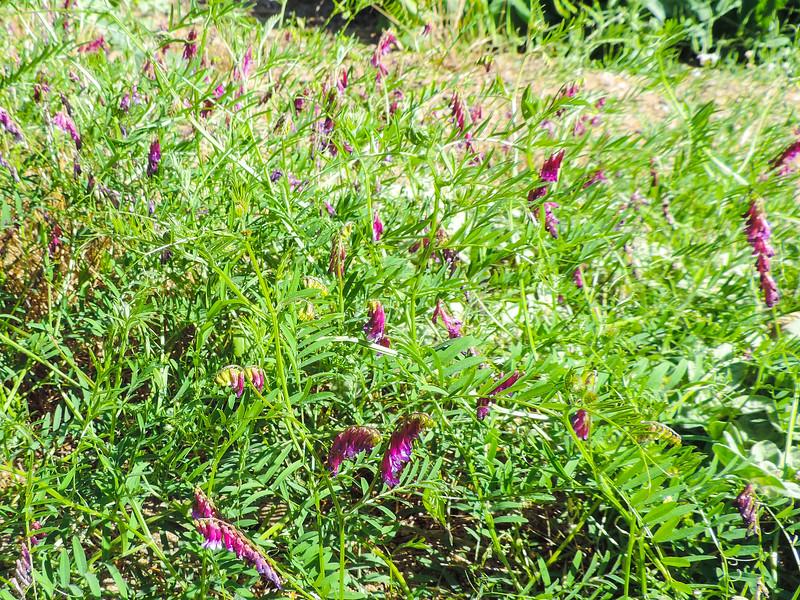 Winter Vetch  (Vicia villosa) FABACEAE
