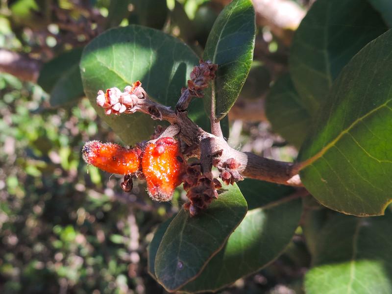Lemonade Berry  (Rhus integrifolia) ANACARDIACEAE