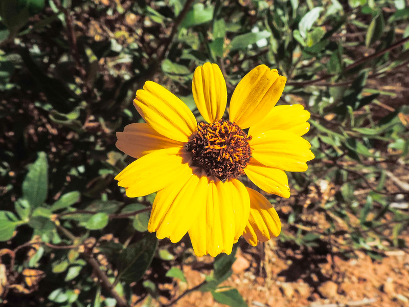 California Encelia  (Encelia californica) ASTERACEAE
