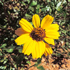 California Encelia  (Encelia californica) ASTERACEAE