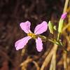Wild Radish (Raphanus raphanistrum) BRASSICACEAE