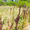 Curly Dock  (Rumex crispus) POLYGONACEAE