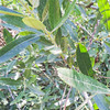 Arroyo Willow  (Salix lasiolepis) SALICACEAE