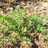 Seaside Heliotrope  (Heliotropium curassavicum var. oculatum) BORAGINACEAE