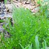 Phlox-leaved Bedstraw (Galium andrewsii ssp. andrewsii) RUBIACEAE
