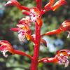 Spotted Coralroot  (Corallorhiza maculata) ORCHIDACEAE