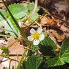 Wood Strawberry  (Fragaria vesca) ROSACEAE