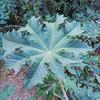 Castor Bean (Ricinus communis) EUPHORBIACEAE