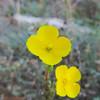 Strigose Suncup (Camissonia strigulosa) ONAGRACEAE
