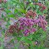 Marsh Fleabane (Pluchea odorata) ASTERACEAE