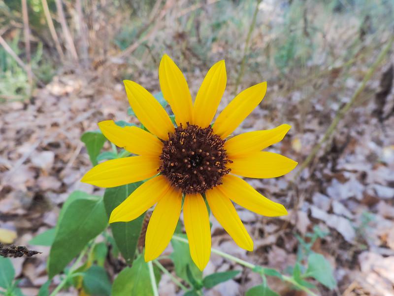 Unknown Sunflower