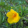 Water Primrose (Ludwigia hexapetala) ONAGRACEAE
