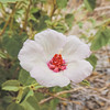 Pale Face Rock Hibiscus  (Hibiscus denudatus) MALVACEAE