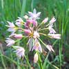 Onion (Allium sp.)