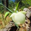 Fairy Lantern  (Calochortus albus) LILIACEAE