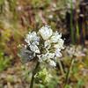 Globe Gilia  (Gilia capitata) POLEMONIACEAE