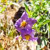 Blue Witch Nightshade  (Solanum umbelliferum) SOLANACEAE