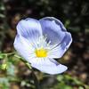 Wild Flax  (Linum lewisii) LINACEAE