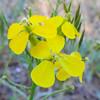 Western Wallflower  (Erysimum capitatum ssp. capitatum) BRASSICACEAE