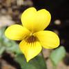 Mountain Violet  (Viola purpurea ssp. quercetorum) VIOLACEAE