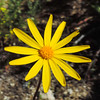 California Butterweed (Senecio californicus) ASTERACEAE