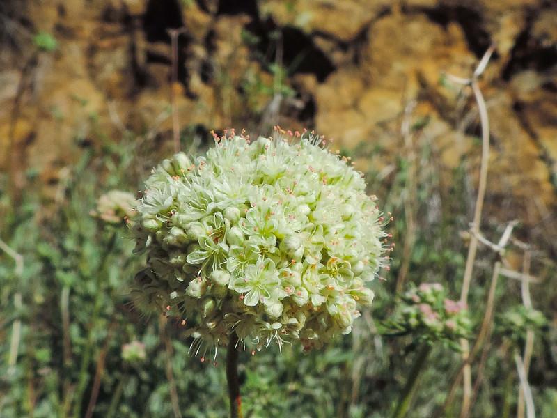 Eastern Mojave Buckwheat  (Eriogonum fasciculatum var. polifolium) POLYGONACEAE