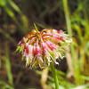 Tree Clover  (Trifolium ciliolatum) FABACEAE