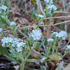 Forget-Me-Not  (Cryptantha sp) BORAGINACEAE