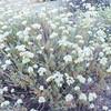 California Buckwheat  (Eriogonum fasciculatum var. polifolium) POLYGONACEAE