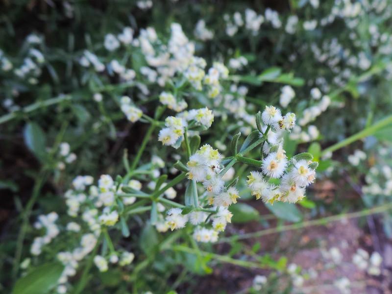 Narrowleaf Bedstraw  (Galium angustifolium) RUBIACEAE