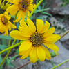 Slender Sunflower  (Helianthus gracilentus) ASTERACEAE