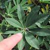 Stream Lupin  (Lupinus latifolius var. parishii) FABACEAE