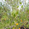 Smooth Mountain Mahogany (Cercocarpus minutiflorus) ROSACEAE
