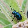 Cobalt Milkweed Beetle (Chrysochus cobaltinus)