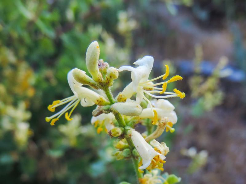 Honeysuckle  (Lonicera subspicata) CAPRIFOLIACEAE